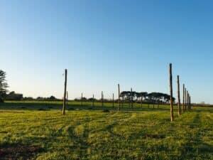 Vue du champ de houblon à ses débuts