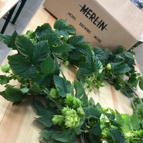 Plants de houblon bio et carton bières Merlin